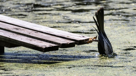 Anhinga Diving into Pond