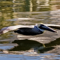 Gliding Brown Pelican