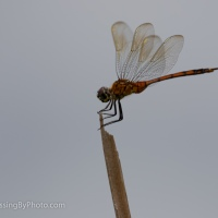 Dragonfly Hanging On In Wind