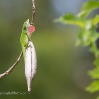 Anole on Trumpet Vine Pod