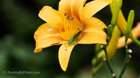 Katydid on Orange Daylily