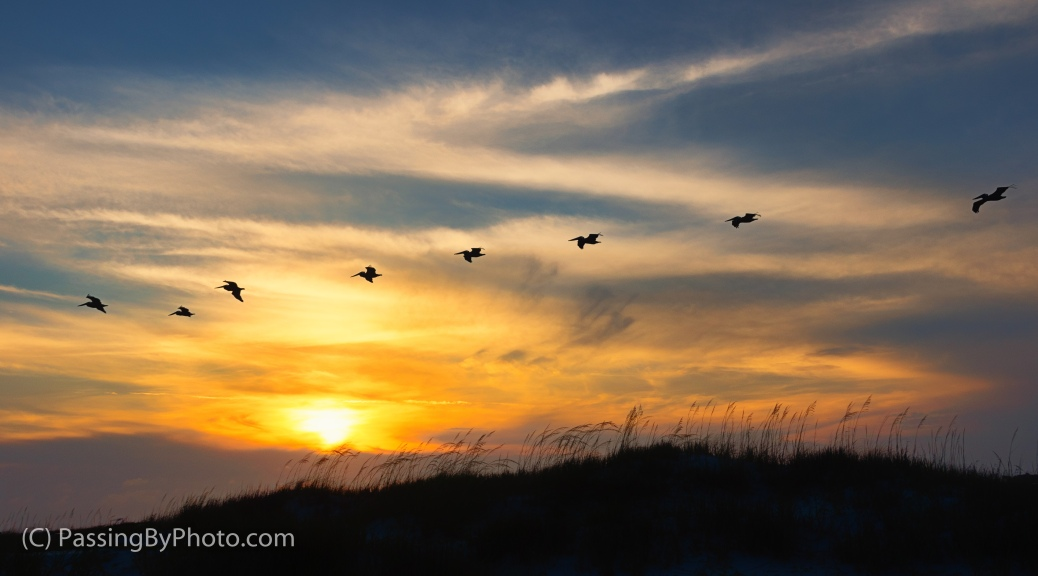 Brown Pelicans Over Dunes