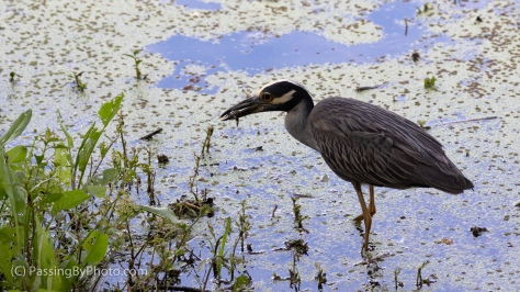Yellow-crowned Night-heron with Snack
