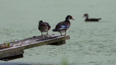 Wood Duck Duo on Alligator Platform
