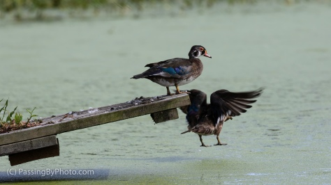 Wood Duck Duo, One Jumps