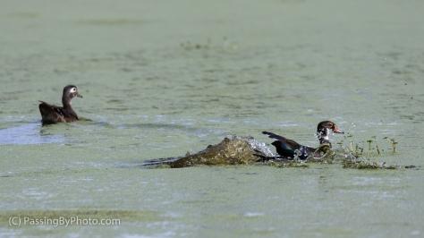 Wood Duck Duo, Splash