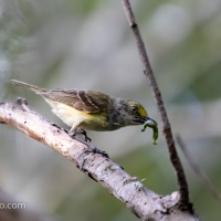 White-eyed Vireo with Worm