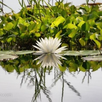 Water Lily and Greenery