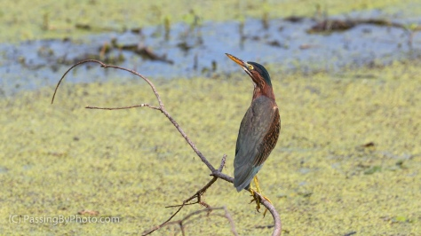 Green Heron on Stick