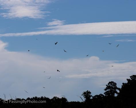 Swallow-tailed Kites, Mississippi Kites, Gulls