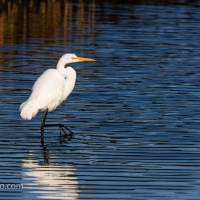Great Egret Ripley Water