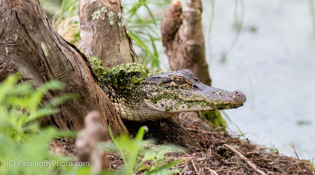 Young Alligator, Cypress Knees, Duckweed