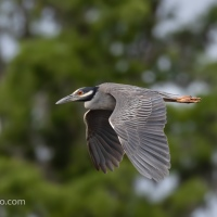 Yellow-crowned Night-heron Flying By