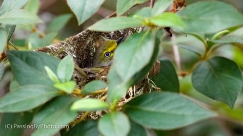 White-eyed Vireo on Nest