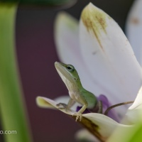 Backyard Carolina Anole