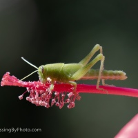 Katydid, Red Star Hibiscus