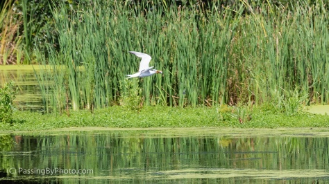 Common Tern Flying with Fish