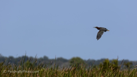 Green Heron Flying By