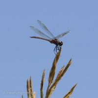 Dragonflies, Vegetation Perches