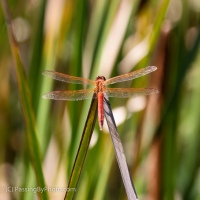 Orange Dragonfly, At a Point