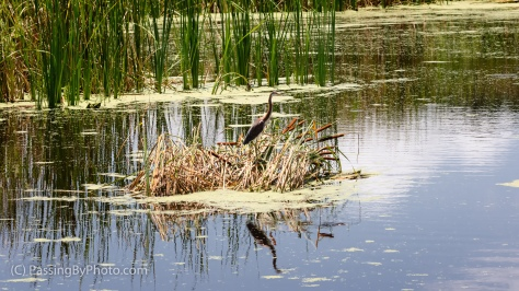 Tricolored Heron on Cattails