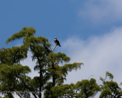 Osprey High in Tree