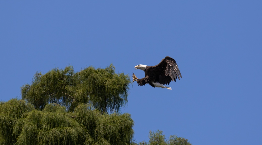 Eagle Flying In