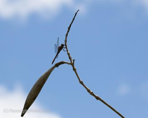 Dragonfly on Trumpet Vine