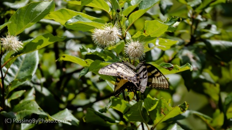 Yellow Swallowtail Butterflies on Buttonbush