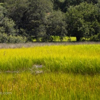 Great Blue Heron in Tidal Marsh