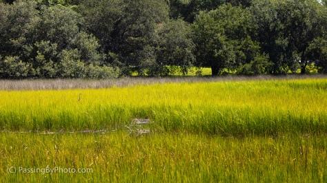 Great Blue Heron in Tidal Marsh