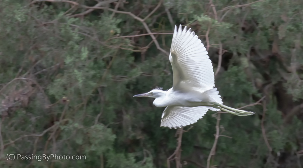 Juvenile Little Blue Heron Flight School