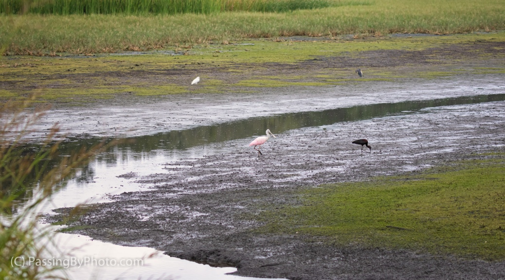 Roseate Spoonbill and Glossy Ibis