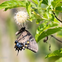 Black Swallowtail Upside Down
