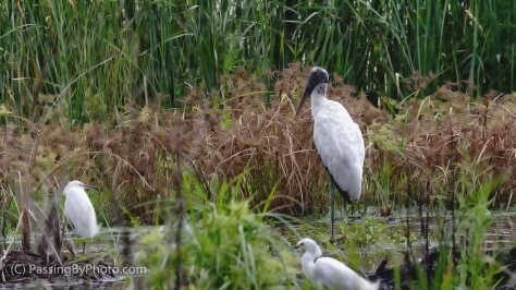 Wood Stork and Snowy Egrets
