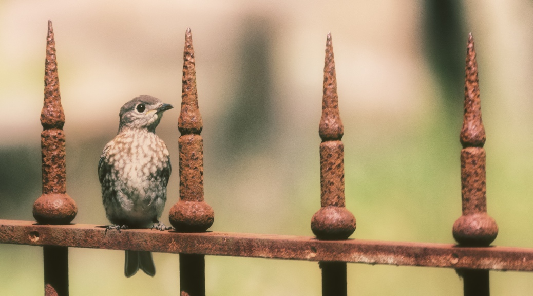Juvenile Bluebird on Metal Fence
