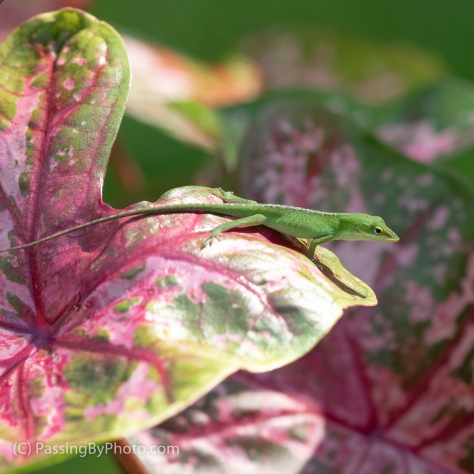 Carolina Anole on Caladium