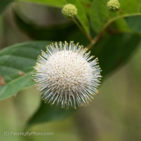 The Buttonbush Flower