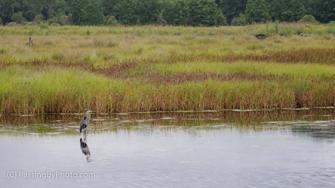 Great Blue Heron at Edge of Marsh