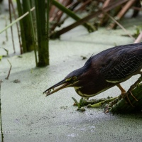 Green Heron, On The Hunt