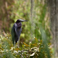 Little Blue Heron, Standing Around