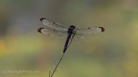 Dragonfly, One Wing Torn