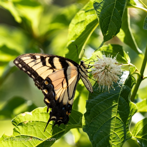 Yellow Swallowtail on Buttonbush