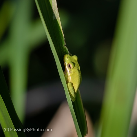 Tree Frog on Frond