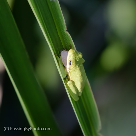 Tree Frog, Mouth Open, on Frond
