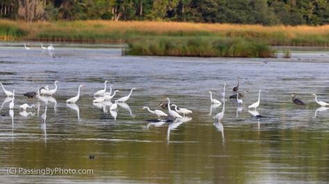Wading Bird Gaggle and Alligators
