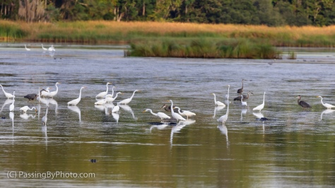 Wading Bird Gaggle and Alligators