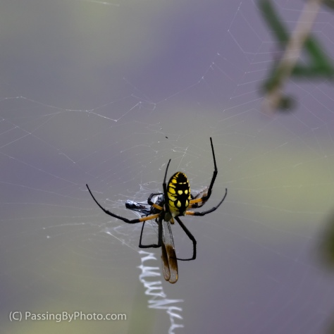 Black and Yellow Garden Spider