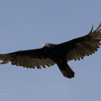 Turkey Vulture Flying Over