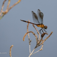 Dragonfly, Poser